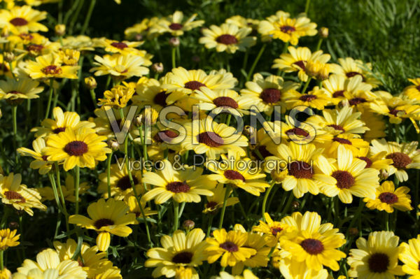 Argyranthemum Grandaisy® Bright Yellow