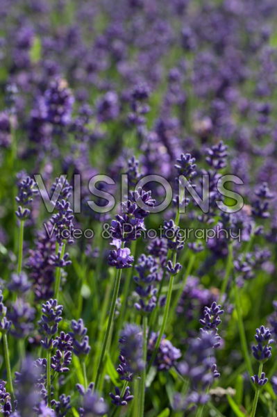 Lavandula angustifolia Essence Purple