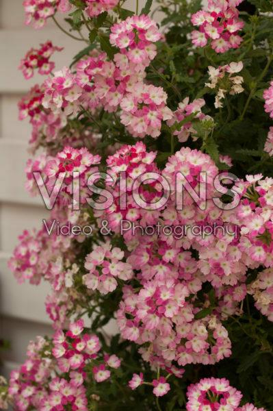 Verbena Lanai® Twister™ Twister Pink