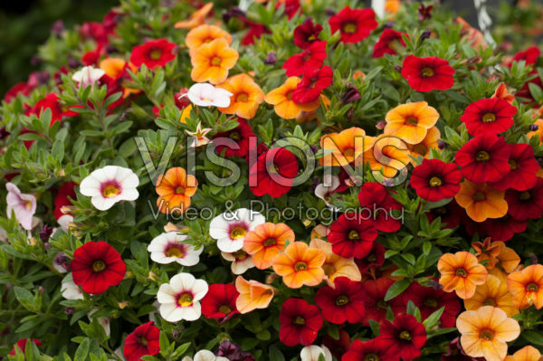 Calibrachoa Confetti Garden Hawaiian Fruit Bowl