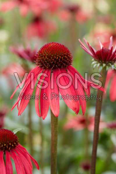 Echinacea 656-01