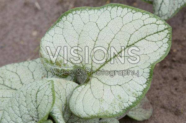 Brunnera macrophylla Silver Heart