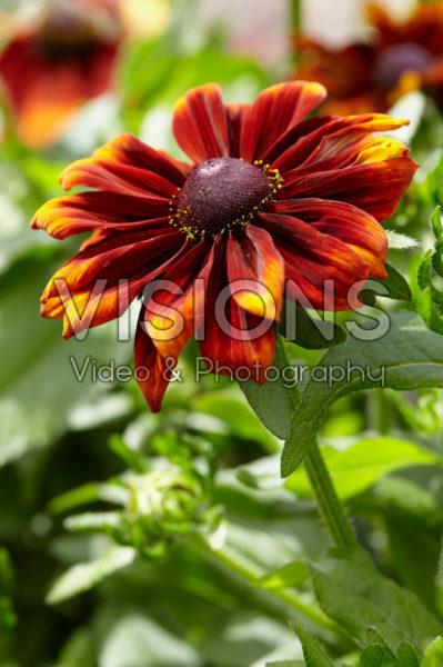 Rudbeckia Garden SmileyZ ™