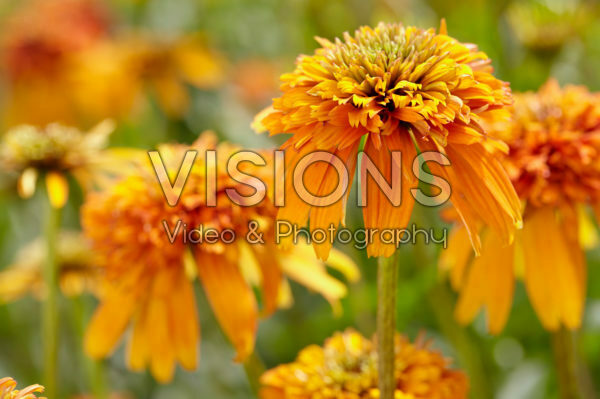 Echinacea Marmalade
