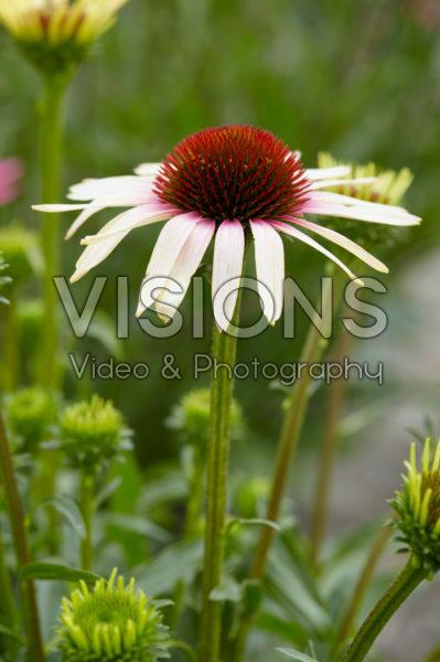 Echinacea Pink Tip