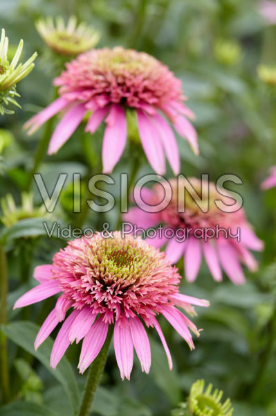 Echinacea purpurea Cotton Candy