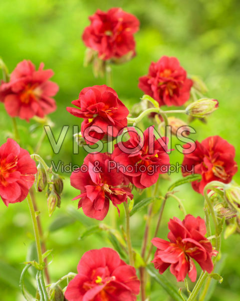 Helianthemum Cerise Queen