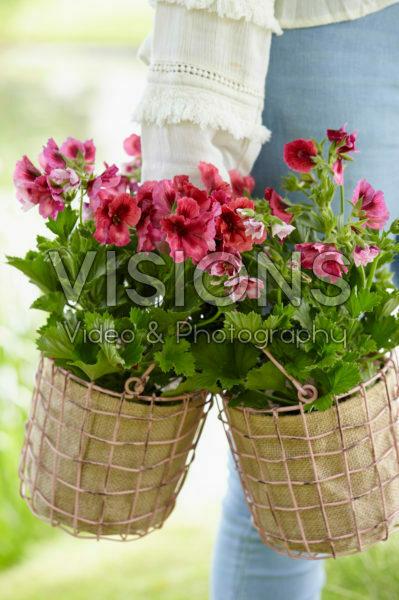 Geraniums in baskets