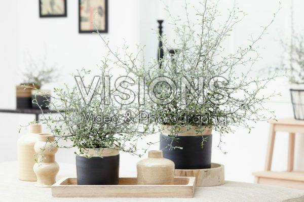 Corokia cotoneaster Green