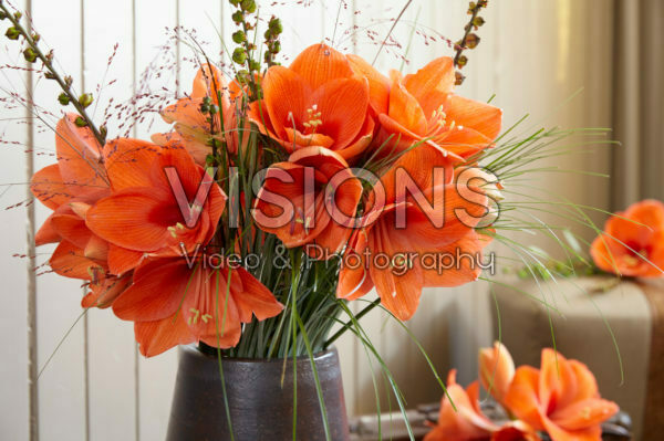 Hippeastrum Naranja ®