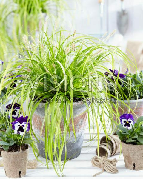 Carex EverColor® Everillo