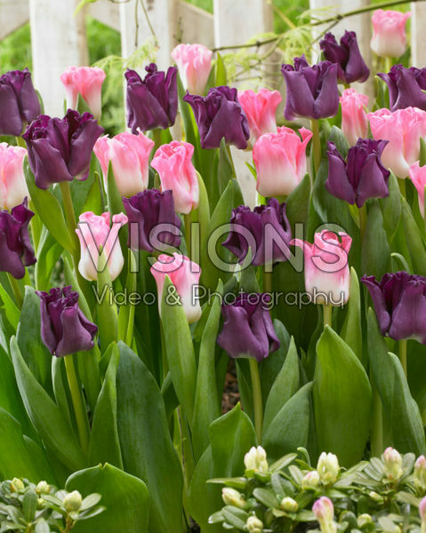 Tulipa Negrita Picture, Crown of Dynasty