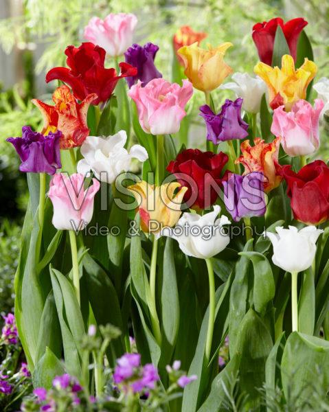 Tulipa Picture mix