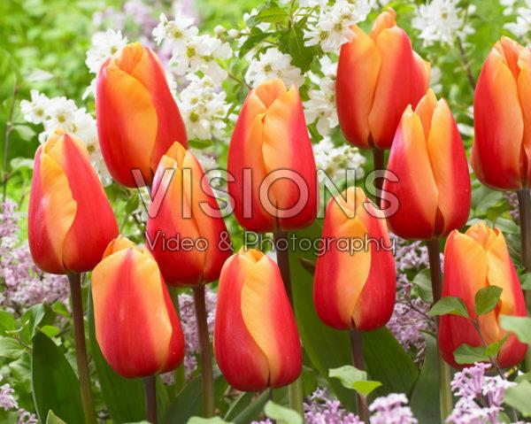 Tulipa Salmon Lalibela
