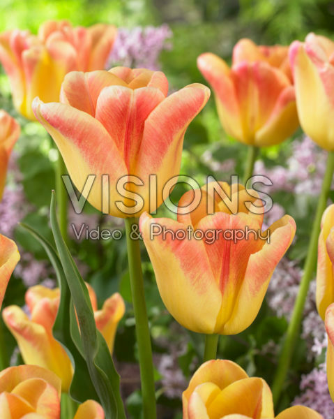 Tulipa Switch