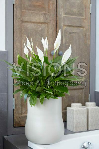 Spathiphyllum Pearl
