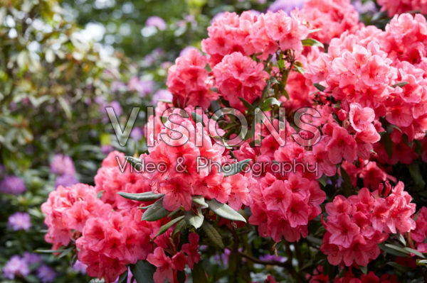 Rhododendron John Coutts