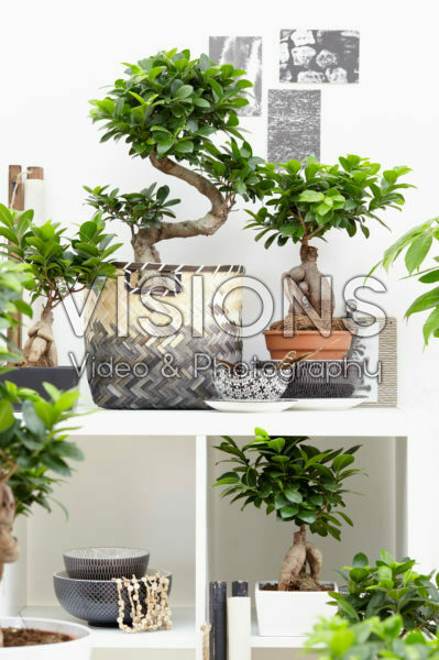 Ficus Ginseng collection