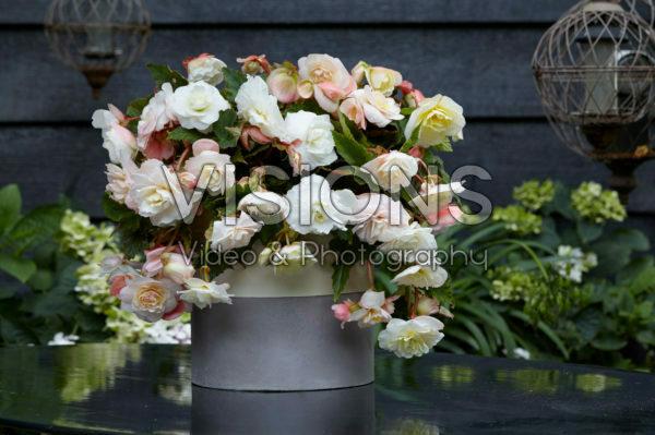 Begonia Cascade® Odorosa® White Blush