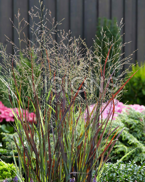 Panicum Purple Breeze