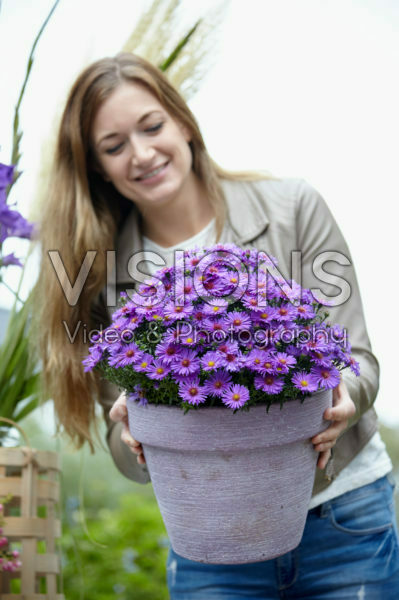 Aster on pot