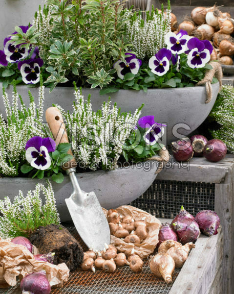 Autumn containers and bulbs