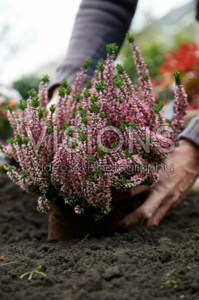 Planting Calluna vulgaris