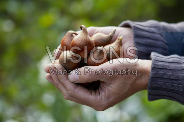 Hands holding tulip bulbs