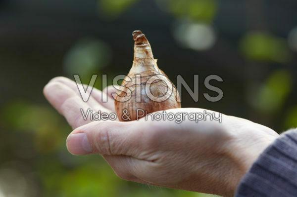 Hand holding daffodil bulb
