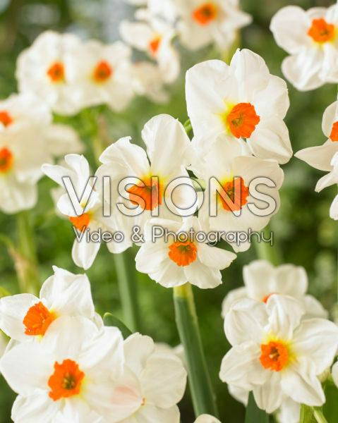 Narcissus Cragford