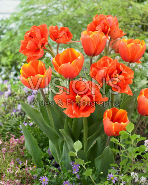Tulipa Triple A, Queensday