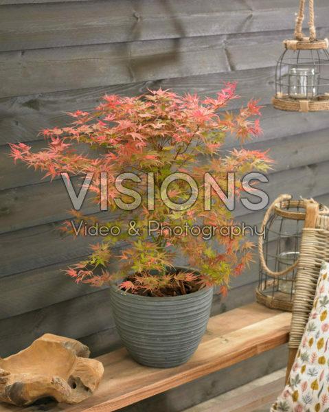 Acer palmatum Butterscotch ®