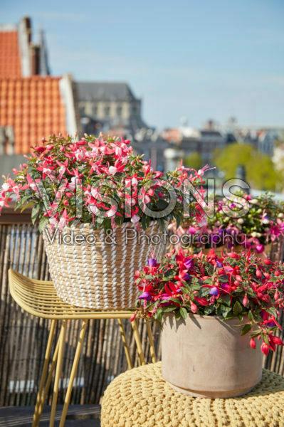Fuchsias on roof terrace