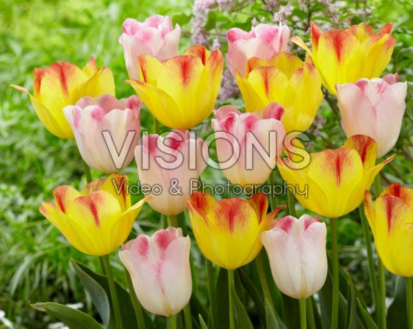Tulipa Infiniti, Suncatcher