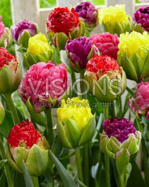 Tulipa Pop Up mix