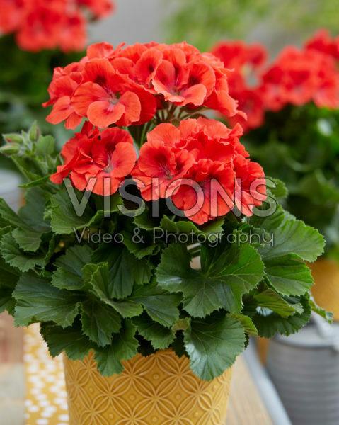 Pelargonium grandiflorum Elegance Rosanna