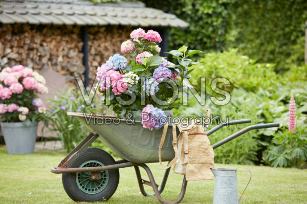 Hydrangea in wheelbarrow