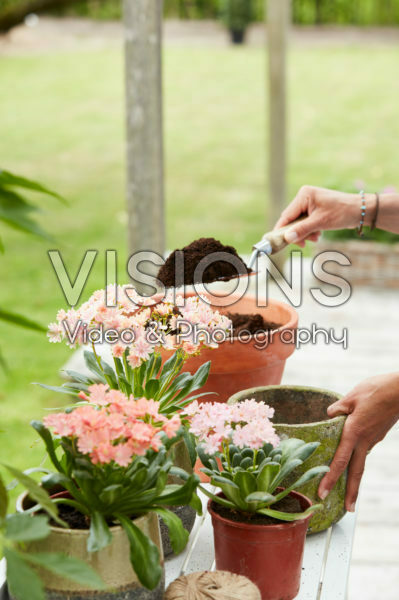 Planting Lewisia