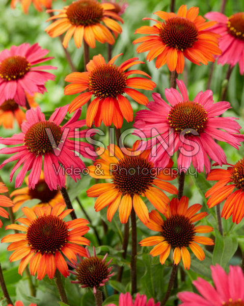 Echinacea SunSeekers mix