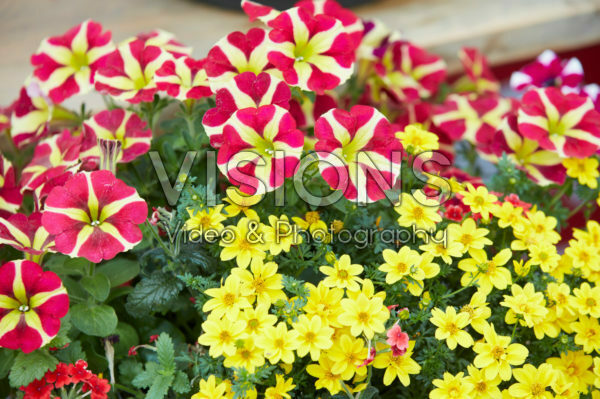 Bidens Yellow Sunshine, Petunia Littletunia