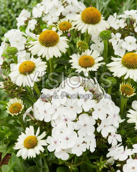 Phlox Famous White Eye, Echinacea Meditation White