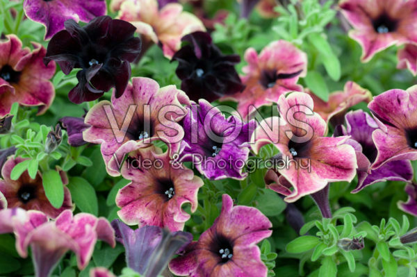 Petunia Happy Magic Giant Velvet Wash