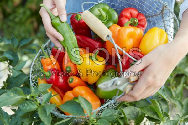 Harvesting capsicum