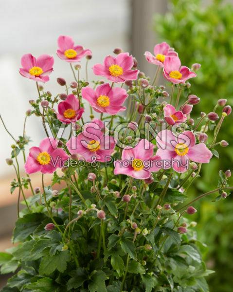 Anemone hupehensis Fantasy Jasmine