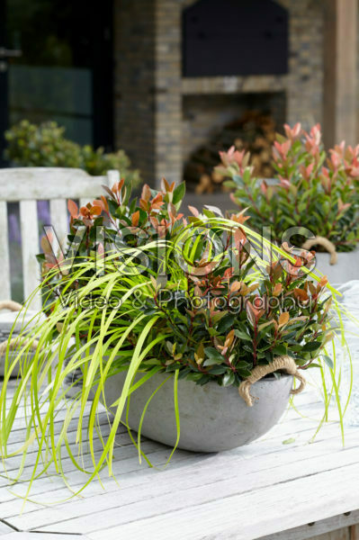 Photinia x fraseri Chico, Carex EverColor® Everillo