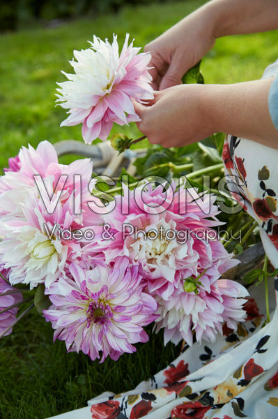 Picked dahlias