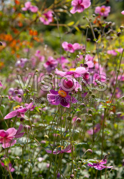 Anemone × hybrida Hadspen Abundance