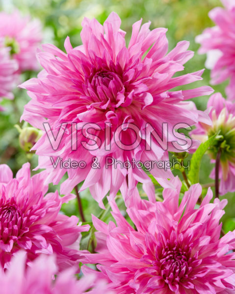 Dahlia Light Music