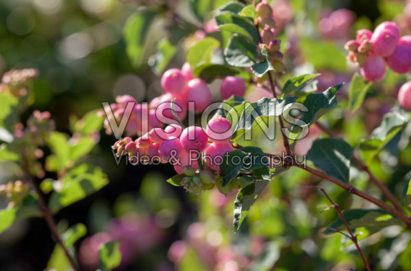 Symphoricarpos Magical Candy