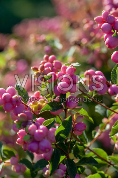 Symphoricarpos Magical Sweet